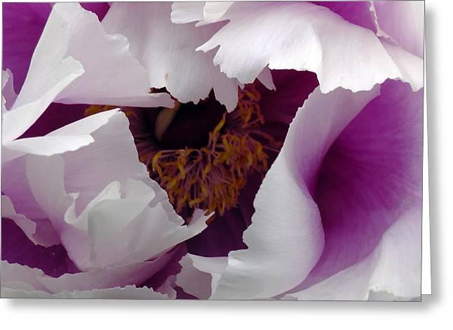 White Peony With Purple Greeting Card by Sascha Kolek