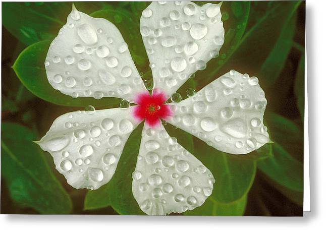 Greeting Card featuring the photograph White Periwinkle by Mark Greenberg