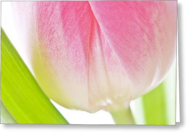 White Pink Green Flower Abstract - Spring Tulip Flowers - Digital Painting - Fine Art Photograph Greeting Card by Artecco Fine Art Photography