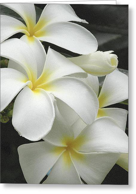 White Plumaria Greeting Card by Paul Miller