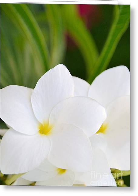 Greeting Card featuring the photograph White Plumeria by Darla Wood