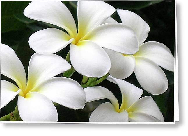 White Plumeria Greeting Card by James Temple