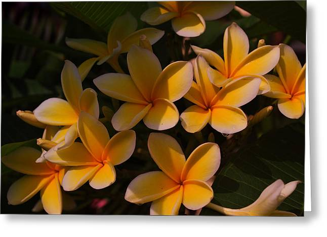 White Plumeria Greeting Card by Miguel Winterpacht