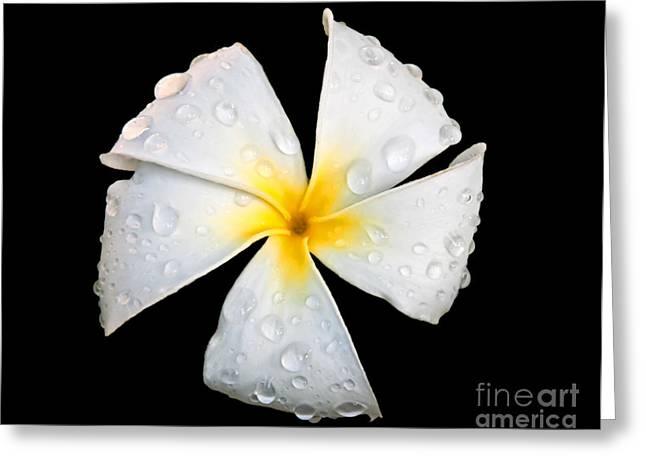 White Plumeria Or Frangipani Flower With Raindrops On Black Greeting Card by Valerie Garner