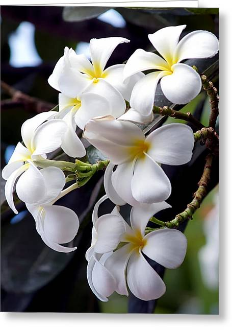 Greeting Card featuring the photograph White Plumeria by Trever Miller