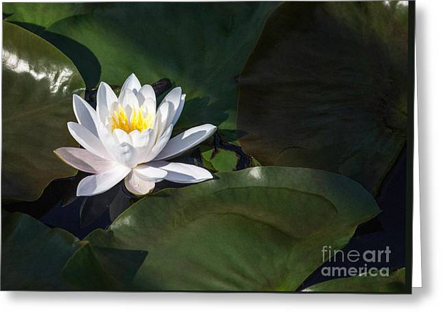 White Pond Lily Greeting Card by Arlene Carmel