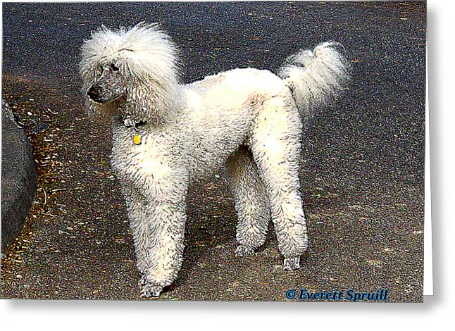White Poodle Greeting Card by Everett Spruill