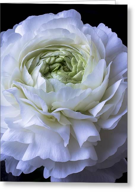 White Ranunculus Close Up Greeting Card