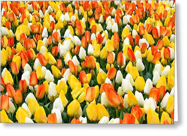 White Orange And Yellow Tulips Greeting Card by Menachem Ganon