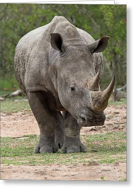 White Rhino Greeting Card by Bob Gibbons