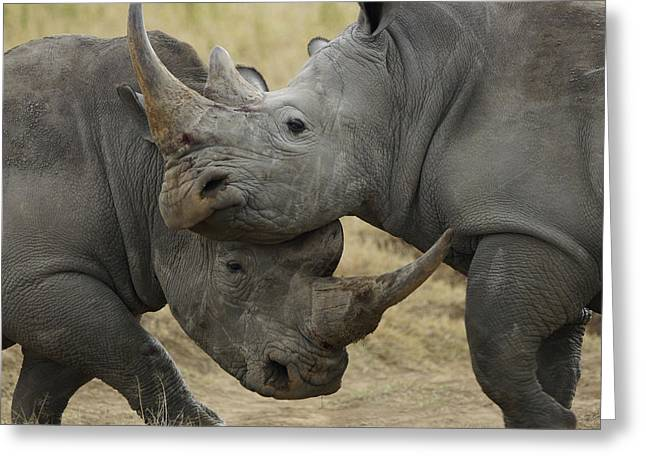 White Rhino Males Fighting Solio Game Greeting Card