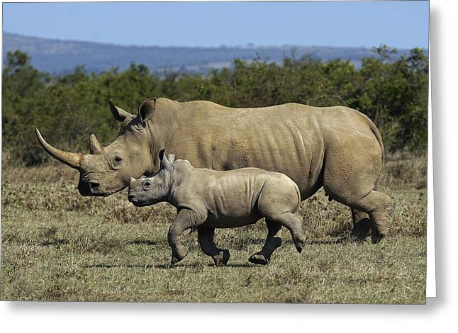 White Rhinoceros And Calf Kenya Greeting Card
