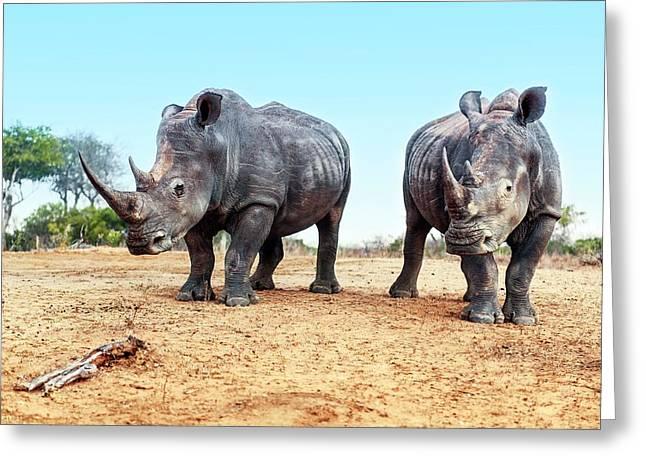 White Rhinoceros Bulls Greeting Card by Peter Chadwick