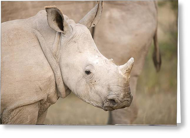 One Horned Rhino Greeting Cards - White rhinoceros calf Greeting Card by Science Photo Library