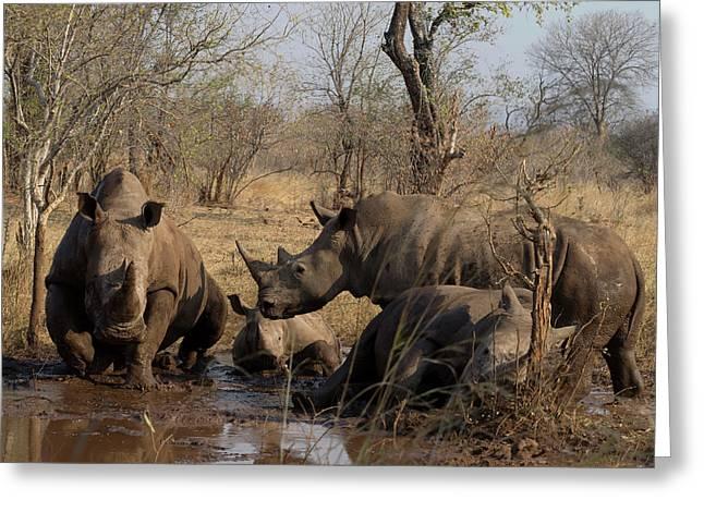 White Rhinoceros Ceratotherium Simum Greeting Card