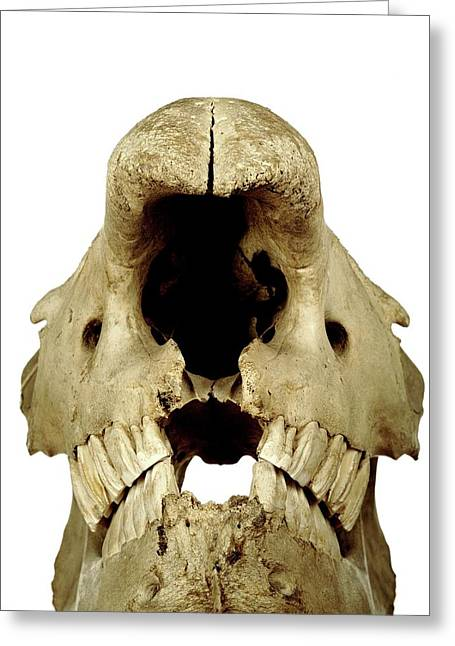 White Rhinoceros Skull Greeting Card by Ucl, Grant Museum Of Zoology