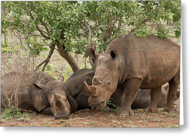 White Rhinos Resting Greeting Card by Bob Gibbons