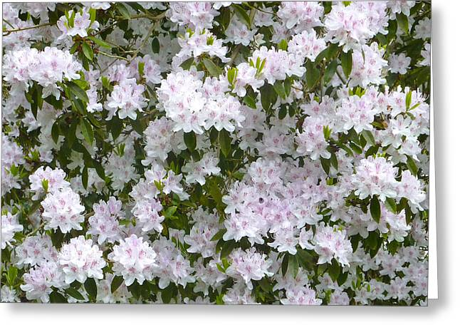 White Rhododendron Blossoms Greeting Card by Rob Sherwood