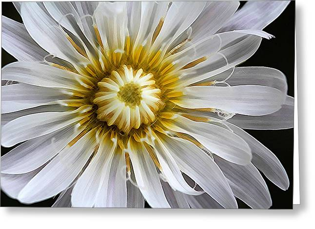 White Dandelion - White Rock Lettuce Greeting Card by Susan Schroeder