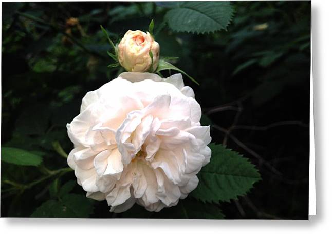 White Rose And Bud Greeting Card