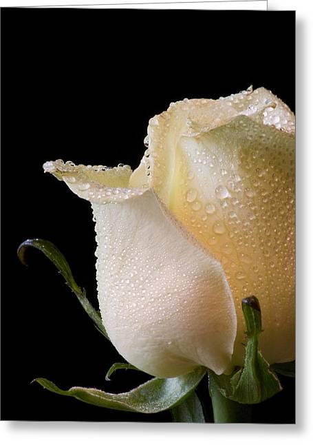 White Rose Close-up Greeting Card