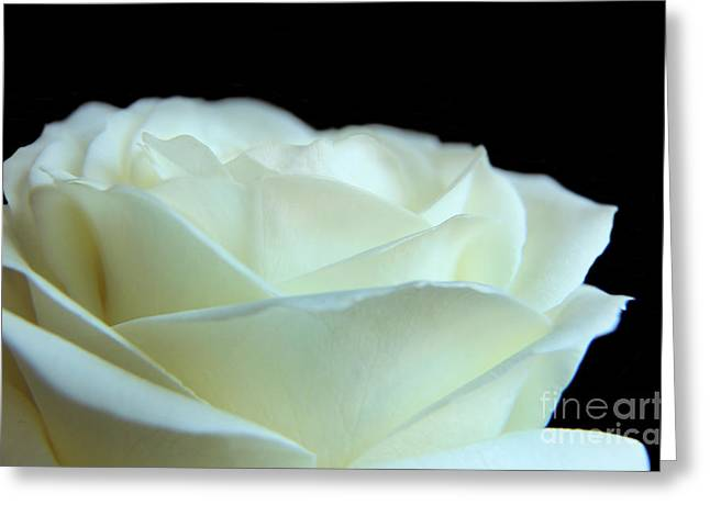 White Avalanche Rose Greeting Card