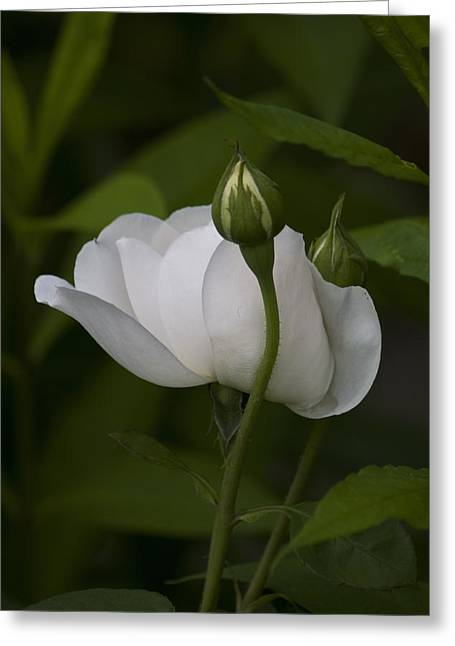 White Rose With Buds Greeting Card