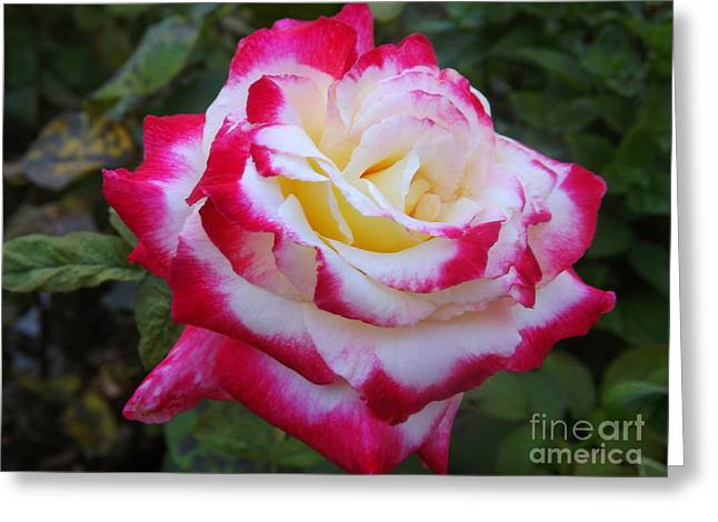 White Rose With Pink Texture Hybrid Greeting Card by Lingfai Leung
