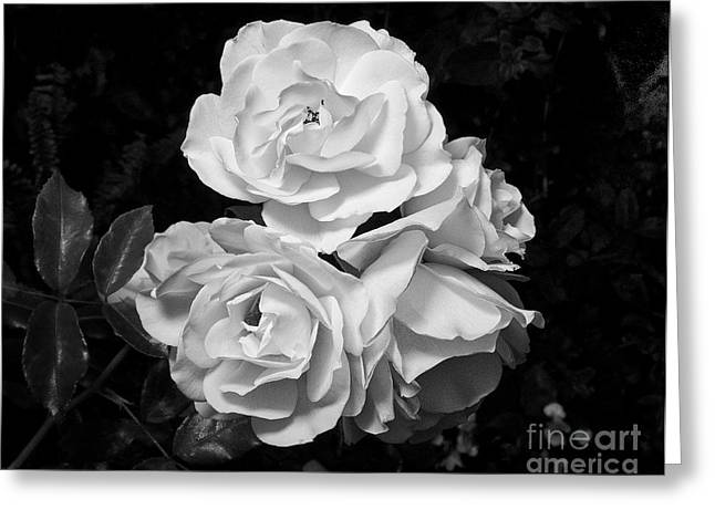 White Roses 1 Greeting Card