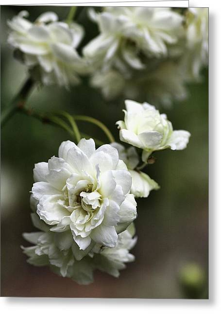 Greeting Card featuring the photograph White Roses by Joy Watson