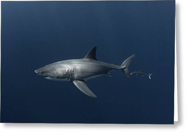 White Shark With Fish Greeting Card by David Valencia