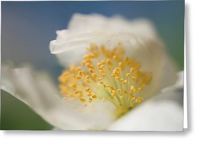 White Shirley Poppy Greeting Card by Maria Mosolova
