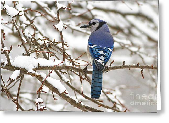 White Snows Blue Jay Greeting Card