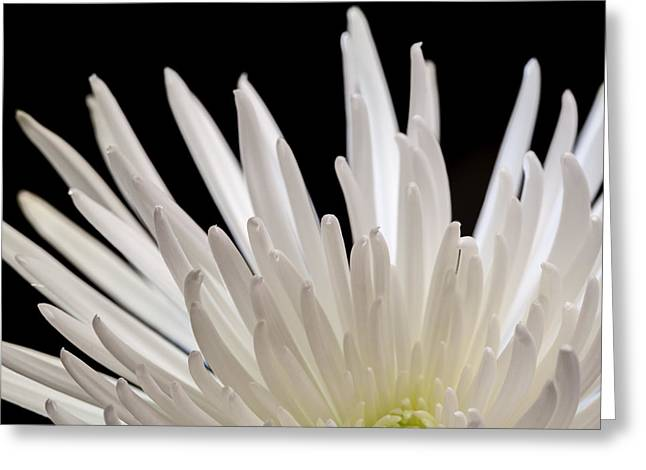 White Spider Mum On Black Greeting Card