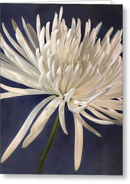 White Spider Mum On Blue Greeting Card