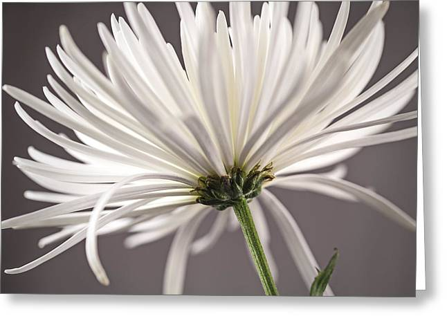 White Spider Mum On Gray Greeting Card