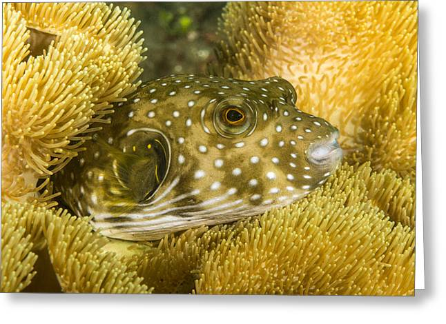 White-spotted Puffer Greeting Card
