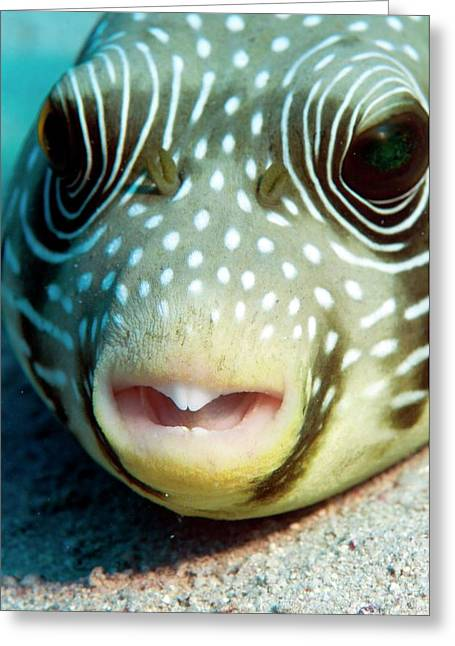 White Spotted Pufferfish Greeting Card by Louise Murray