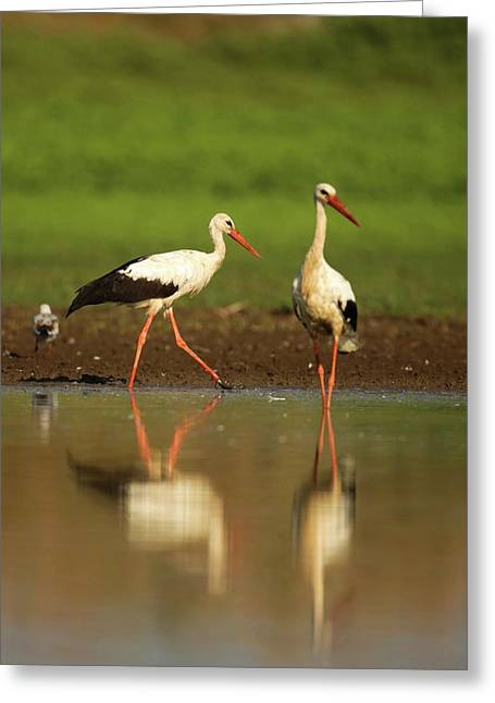 White Stork (ciconia Ciconia) Greeting Card by Photostock-israel