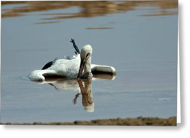 White Stork Drowning In The Dead Sea Greeting Card