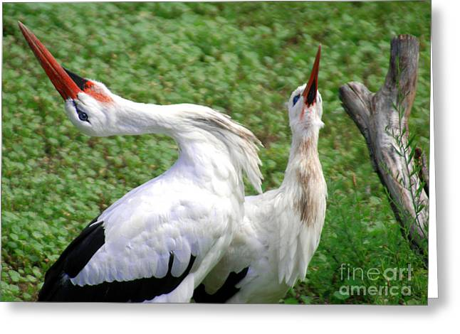 White Stork In Bonding Ritual Pose Greeting Card by Optical Playground By MP Ray