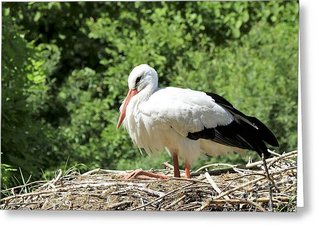 White Stork  Greeting Card by Teresa Zieba