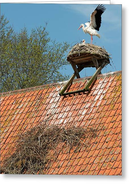 White Storks Greeting Card by Duncan Shaw