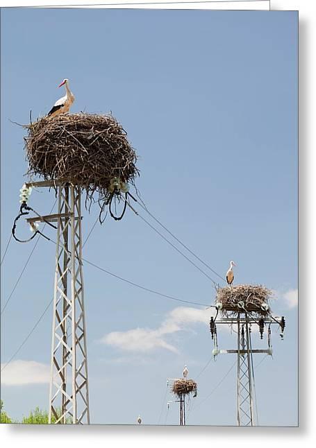 White Storks Nesting Greeting Card by Ashley Cooper
