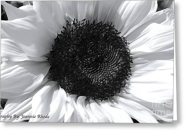 Greeting Card featuring the photograph White Sunflower by Jeannie Rhode