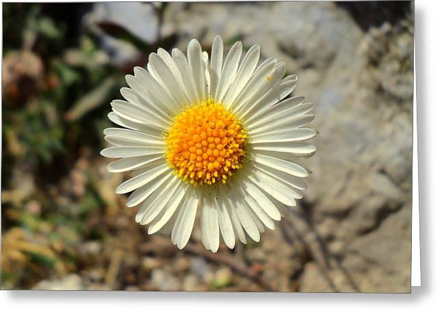 White Wild Flower Greeting Card by Salman Ravish