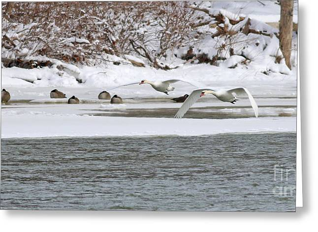 White Swans In Flight 1565 Greeting Card by Jack Schultz