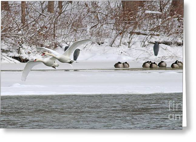 White Swans In Flight 1572 Greeting Card by Jack Schultz