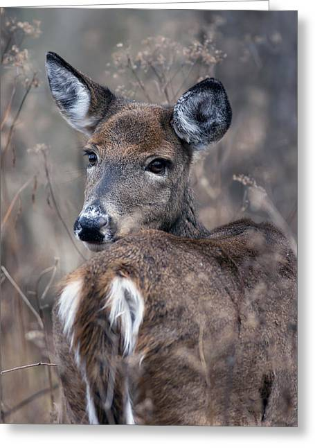 White-tail Beauty Greeting Card
