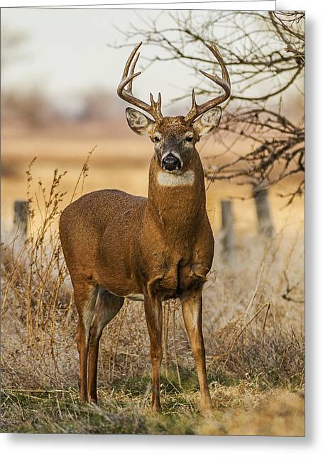 White-tail Buck Greeting Card